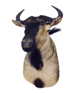 3369M Blue Wildebeest Shoulder Mount